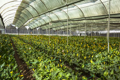 Greenhouse flowers ready for harvest cartridges Stock Image