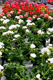 A greenhouse full of geraniums Royalty Free Stock Images