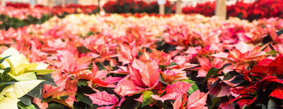 Greenhouse full of pink poinsettias. Banner of pink, rosy Poinsettias ready for the winter Holiday season royalty free stock images