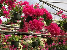 Greenhouse full of pink and white Bougainvillea. A greenhouse is filled with hanging pots of beautiful, healthy pink and white bougainvillea flowers royalty free stock photo