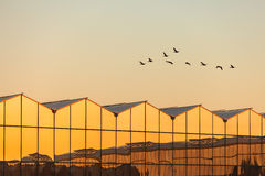 Greenhouse with geese flying by during sunset Royalty Free Stock Image