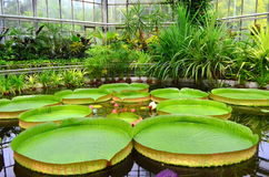 Greenhouse - Giant water lily Stock Image