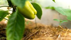 Greenhouse with green flowering peper stock photo