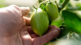 Greenhouse with green flowering tomatoes stock photos
