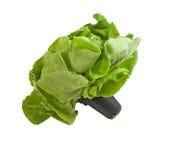 Greenhouse grown Boston lettuce Royalty Free Stock Photo