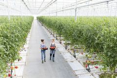 High angle view of coworkers carrying tomatoes in crate at greenhouse stock images