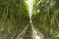 Greenhouse, hydroponic cultivation Stock Images
