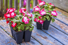 Greenhouse Impatiens. Greenhouse grown pack containing seedlings of impatiens plants (Impatiens wallerana)plants ready for transplanting into a home garden Stock Photos