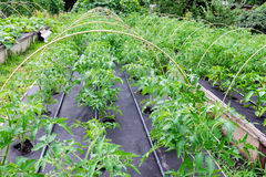 Free Greenhouse In A Box For Growing. Seedling Tomato, Grown In A Large Box On A Protective Nonwoven Cover Stock Photography - 95799682