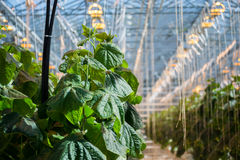 Greenhouse. Inside of a cucumber and tomato greenhouse Royalty Free Stock Photo