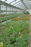 Greenhouse for the intensive cultivation of flowering plants and Stock Photo