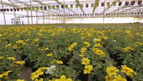 Greenhouse with a large glass roof, bright modern greenhouse with flowers, colorful flowers in a modern greenhouse stock video footage