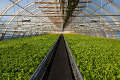 Greenhouse lettuce. Covered greenhouse with two beds of lettuce Stock Photography