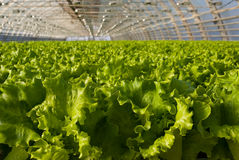 Greenhouse lettuce. Covered greenhouse with two beds of lettuce Stock Image
