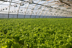 Greenhouse lettuce. Covered greenhouse with two beds of lettuce Royalty Free Stock Photography