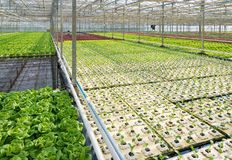 Greenhouse with lettuce and cabbage Stock Photos