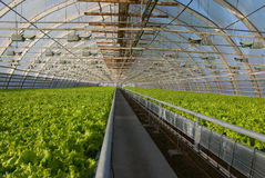 Greenhouse lettuce. Covered greenhouse with two beds of lettuce Royalty Free Stock Photo