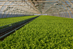 Greenhouse lettuce. Covered greenhouse with two beds of lettuce Stock Photos