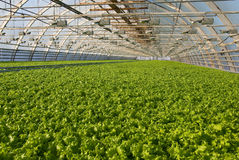 Greenhouse lettuce. Covered greenhouse with two beds of lettuce Royalty Free Stock Images