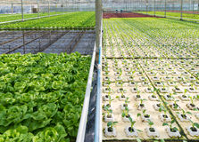 Greenhouse with lettuce Royalty Free Stock Photos