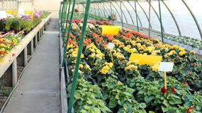 Greenhouse with a lot of flowers and plants for sale in the spri Stock Images