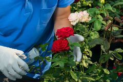 In the greenhouse a man looks after the flowers of a red and white rose stock images