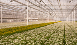 Greenhouse with many flowering small Chrysanthemums Stock Photos