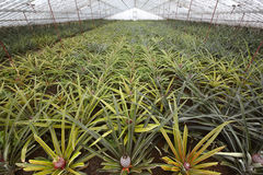 Greenhouse with natural pineapples in Sao Miguel. Azores islands Stock Photos