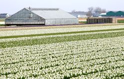 Greenhouse near the dutch bulbs Royalty Free Stock Photos