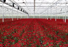 Greenhouse nursery. Greenhouse with red chrysanthemums-interior Royalty Free Stock Photography
