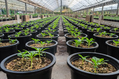 Greenhouse nursery young plant. Closeup greenhouse nursery young plant Royalty Free Stock Image