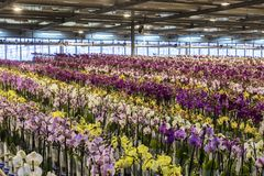 Greenhouse Orchid Westland in Holland royalty free stock images