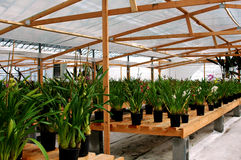 Greenhouse Orchids Royalty Free Stock Photography