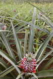 Greenhouse with organic pineapples in Sao Miguel. Azores islands Stock Image