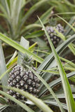 Greenhouse with organic pineapples in Sao Miguel. Azores islands Stock Photo