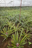 Greenhouse with organic pineapples in Sao Miguel. Azores islands Royalty Free Stock Image