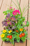 Greenhouse packs of Marigold, Geranium and Coleus  Royalty Free Stock Photos