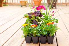 Greenhouse packs of Marigold, Geranium and Coleus  Royalty Free Stock Image