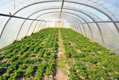 Greenhouse with parsley. A plastic greenhouse with parsley (petroselinum) plants Stock Photography