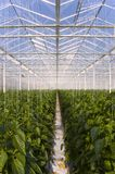 Greenhouse pepper plants Royalty Free Stock Photo