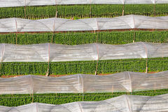 Greenhouse Plant, Royal Project , Doi Inthanon Royalty Free Stock Photo