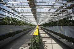 Greenhouse. The greenhouse planting organic pollution-free vegetables Stock Image