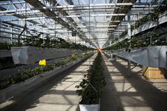 Greenhouse. The greenhouse planting organic pollution-free vegetables Royalty Free Stock Photos