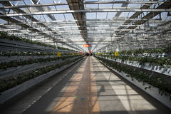 Greenhouse. The greenhouse planting organic pollution-free vegetables Stock Photos