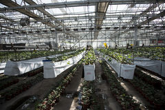 Greenhouse. The greenhouse planting organic pollution-free vegetables Royalty Free Stock Image