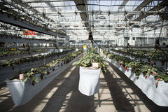 Greenhouse. The greenhouse planting organic pollution-free vegetables Royalty Free Stock Photo