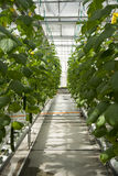 Greenhouse. The greenhouse planting organic pollution-free vegetables Stock Photo