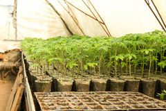 , greenhouse plants, drip irrigation, greenhouse cultivation of tomatoes in agricultu Stock Image