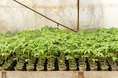 greenhouse plants, drip irrigation, greenhouse cultivation of tomatoes in agricultu Stock Image
