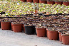 Greenhouse Plants in pots Royalty Free Stock Photography